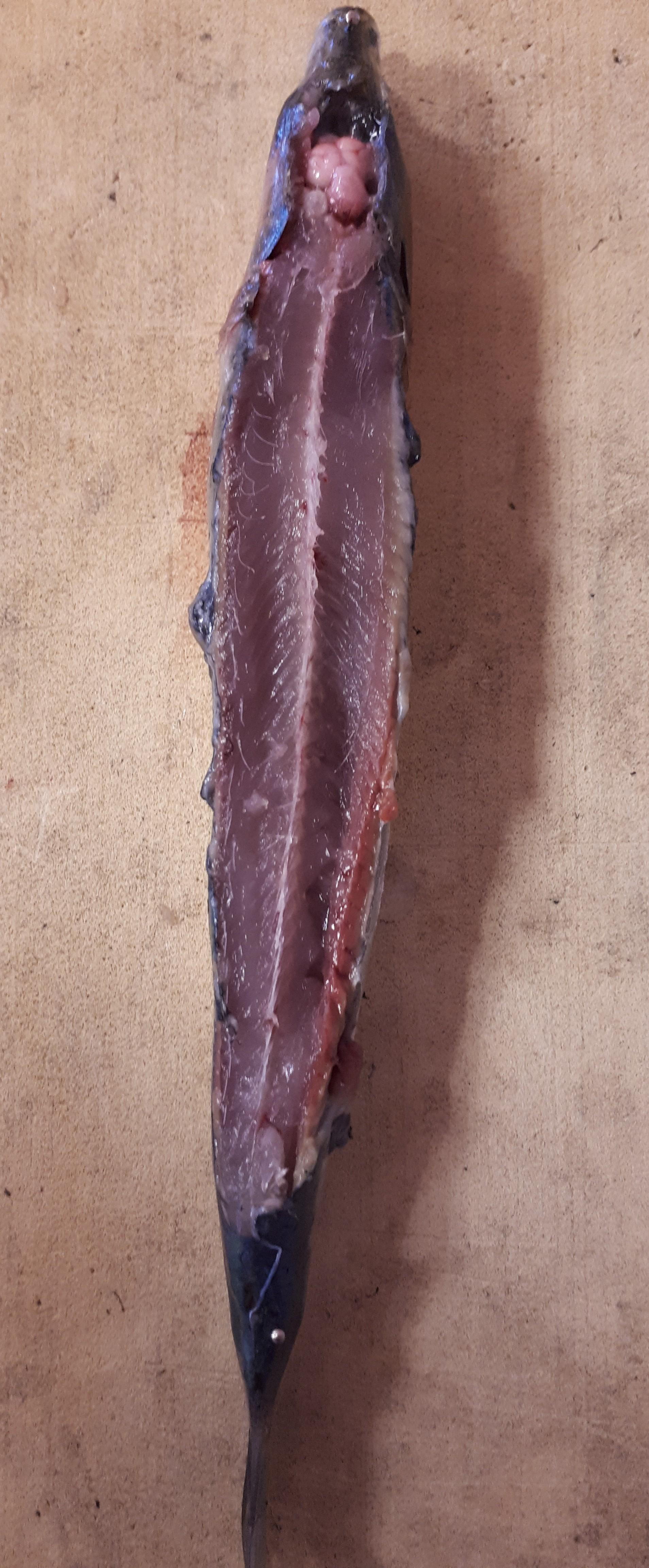 dissection système nerveux poisson